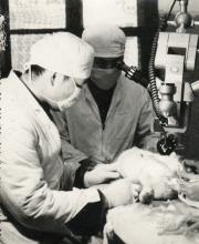 80年代初,我院即开始开展显微外科手术,图为医务人员正在进行动物手术实验